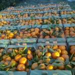 Mandarine, Mandarina