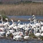 Flamingo, Flamingosi, Kriporja, Solana