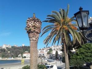 Palma, Doseza e kuqe, Crveni surlas
