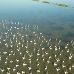 solana-kriporja-pelikani