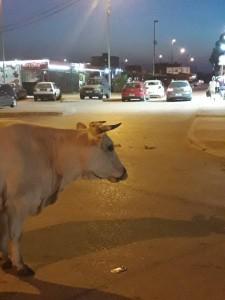 Lopa, Krava
